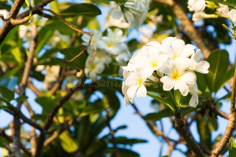 Красивые цветки plumeria стоковые изображения rf