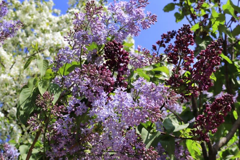 Красивые цветя деревья весны и ветви сирени стоковые фото