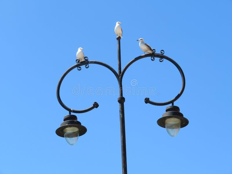 Красивые чайки большей красоты и славного цвета mugging для камеры стоковое изображение
