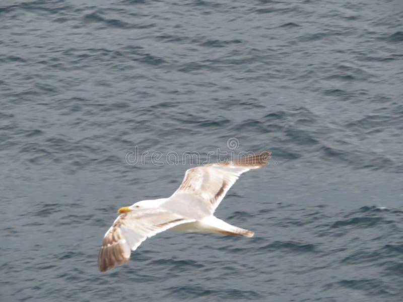 Красивые чайки большей красоты и славного цвета mugging для камеры стоковая фотография rf