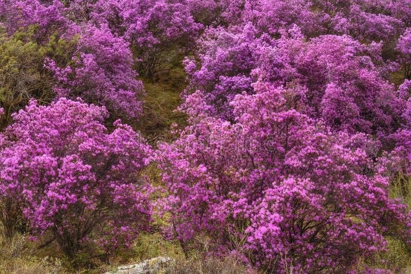 Сибиряк Сакуры весны горы рододендрона стоковая фотография