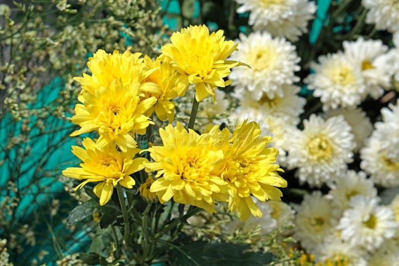 Красивые чисто белые и желтые chrysanths - экономический завод цветка стоковое фото