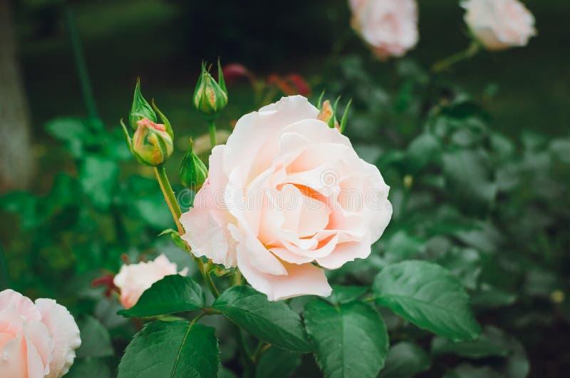 Красивые чувствительные розы зацветают в саде лета стоковое изображение rf
