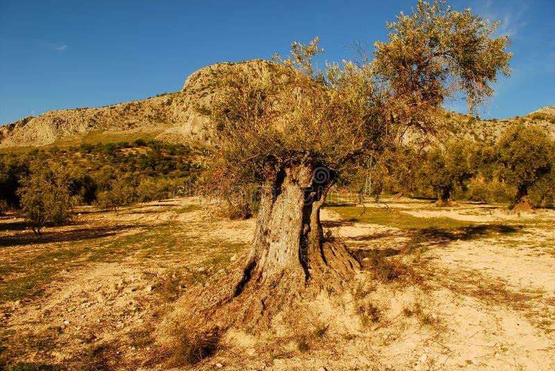 Красивые centenarian оливковые дерева под голубым небом стоковое фото