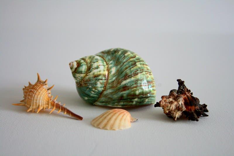 красивые clams на белой предпосылке стоковые фотографии rf