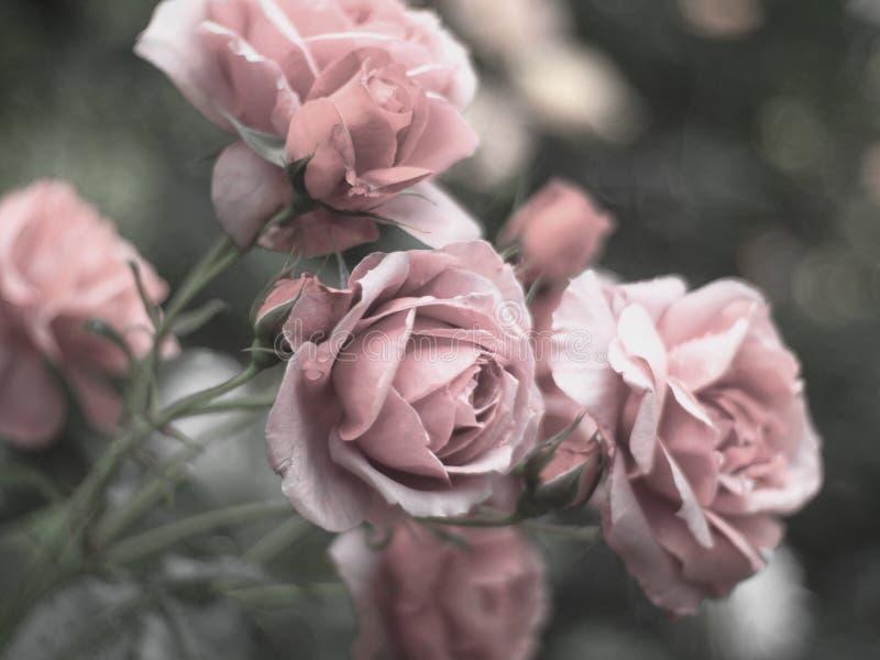 Красивые cream розы в саде стоковые изображения