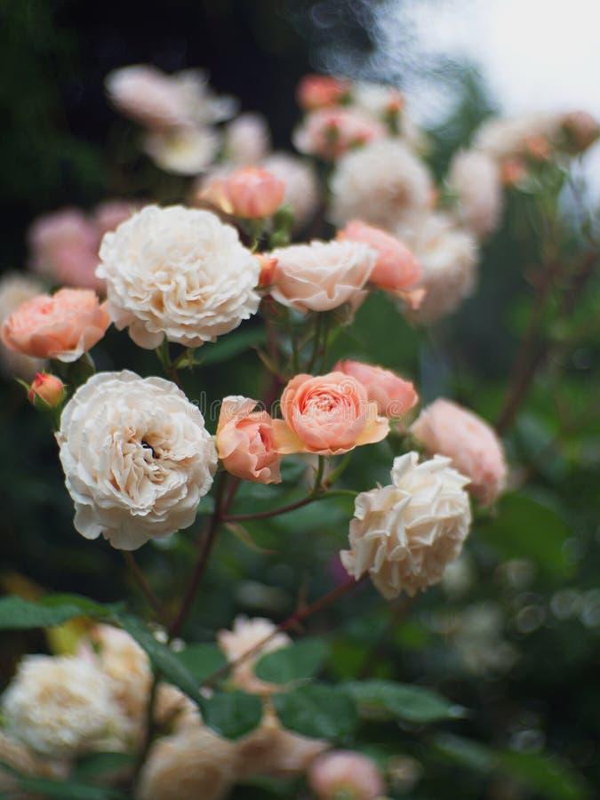 Красивые cream розы в саде стоковые изображения rf