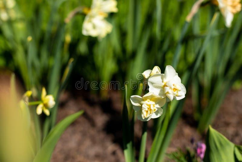 Красивые daffodils Narcissus на солнечности, предпосылке весны белый цветок narcissus весной греет на солнце блески в саде стоковое фото
