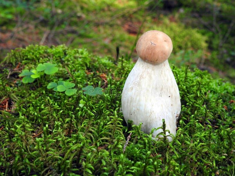 Красивые eatable грибы, который выросли в лесе, Литве стоковые изображения