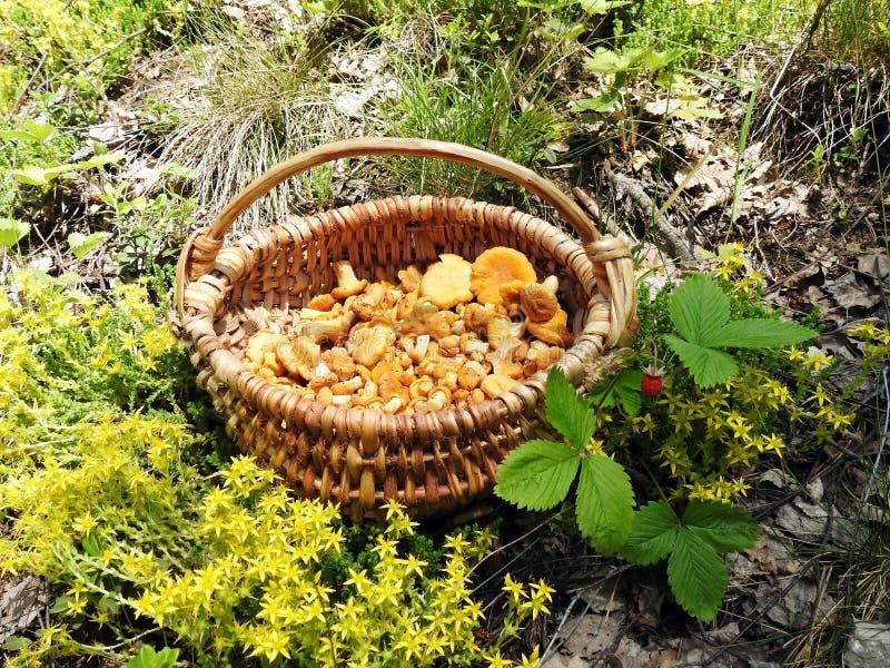 Красивые eatable грибы скомплектованные в лесе, Литве стоковые фотографии rf