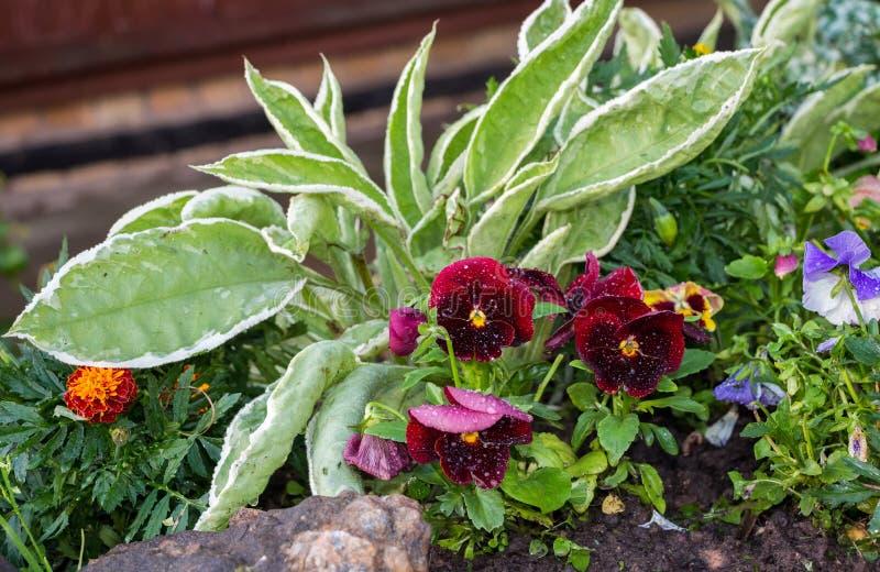 Красивые pansies закрывают вверх в саде just rained стоковые фотографии rf