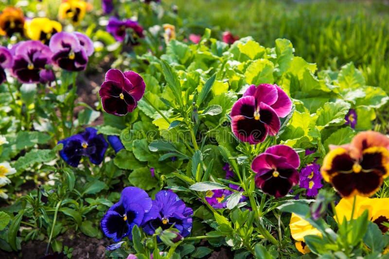 Красивые Pansies или альты растя на flowerbed в саде Украшение сада стоковое изображение
