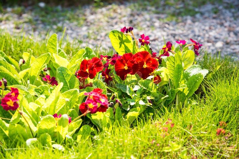 Красивые Pansies или альты растя на flowerbed в саде Украшение сада стоковые фотографии rf