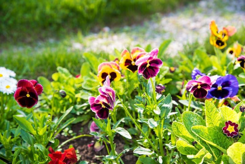 Красивые Pansies или альты растя на flowerbed в саде Украшение сада стоковое фото