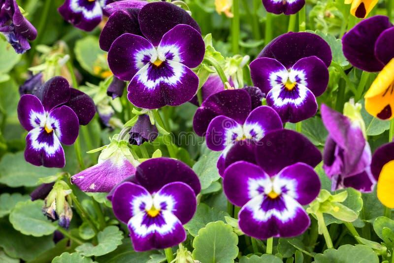 Красивые Pansies пурпура и белых стоковое изображение