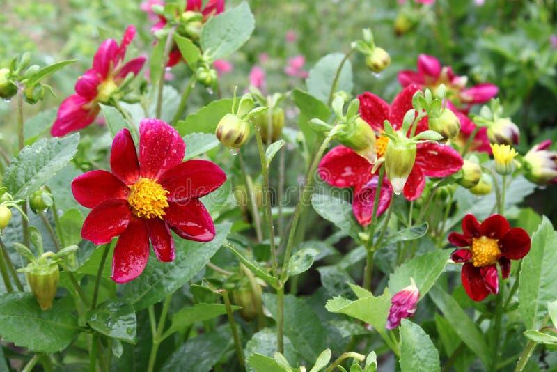 Красивые variabilis георгина цветка с падениями воды стоковые фото