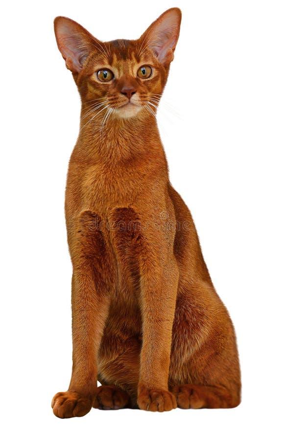 Красивый абиссинский цвет щавеля кота стоковая фотография