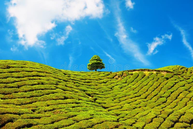Красивый ландшафт плантации чая в гористых местностях Камерона, Малайзии стоковое фото rf
