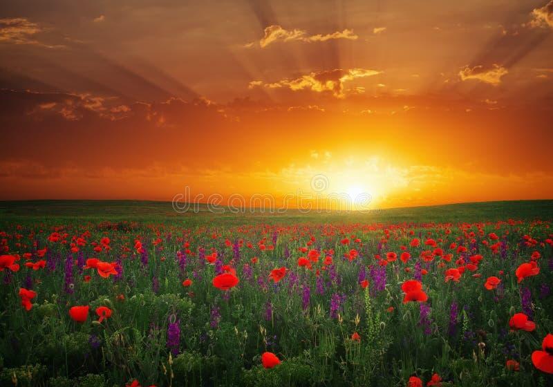 Красивый ландшафт с славным заходом солнца над полем мака стоковое фото rf