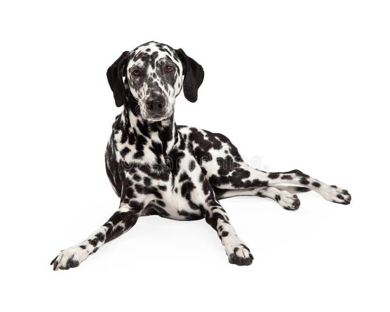 Красивый далматинский класть собаки стоковые изображения