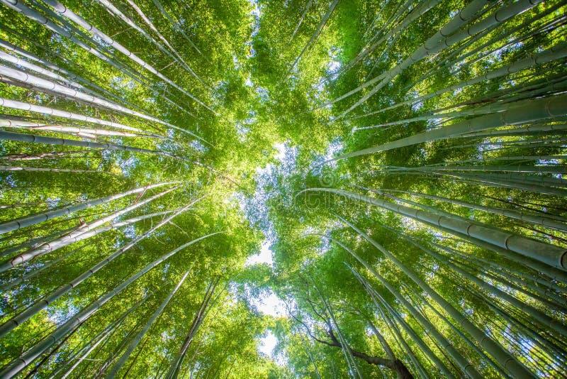 Красивый бамбуковый лес на районе Arashiyama touristy стоковое изображение rf