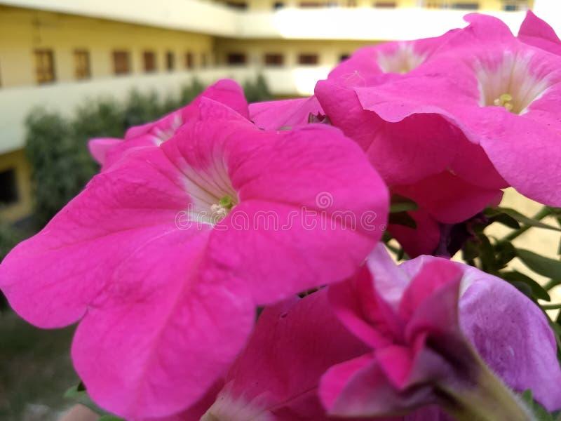 Красивый белый желтый розовый цветок природы стоковая фотография rf