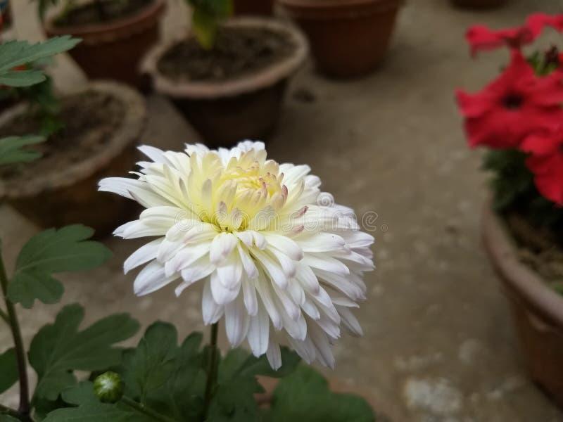 Красивый белый желтый цветок природы стоковая фотография rf