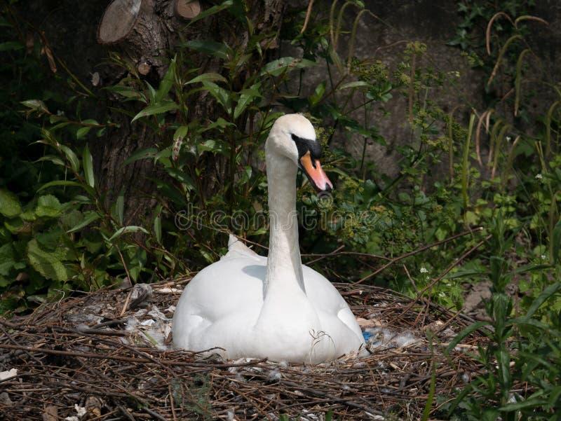 Красивый белый женский портрет безгласного лебедя, сидя на ее яичках инкубировать гнезда в солнечном дне стоковое изображение