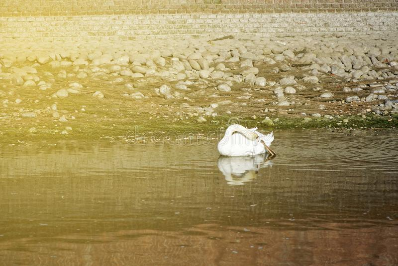Красивый белый лебедь с красным заплыванием клюва в озере стоковое фото rf