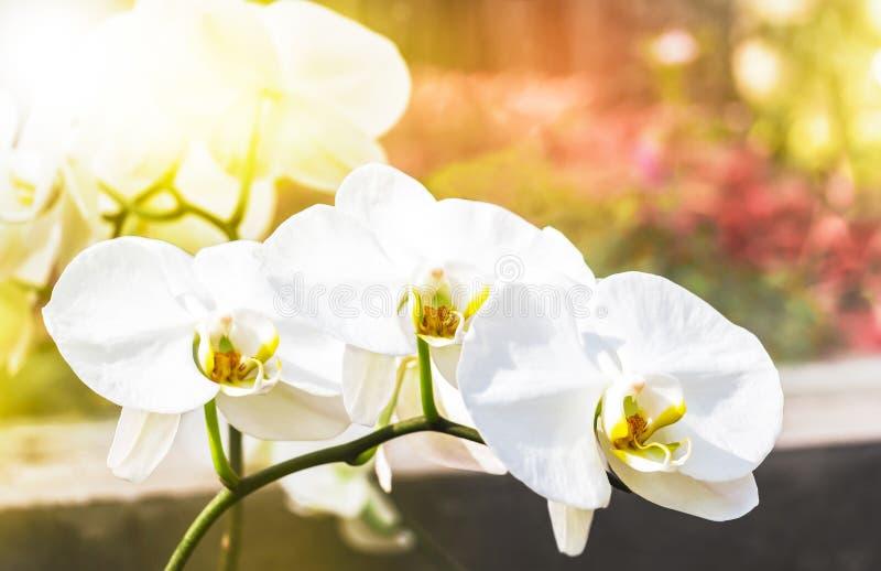 Красивый белый цветок или фаленопсис Vanda орхидеи с sunshin стоковая фотография rf