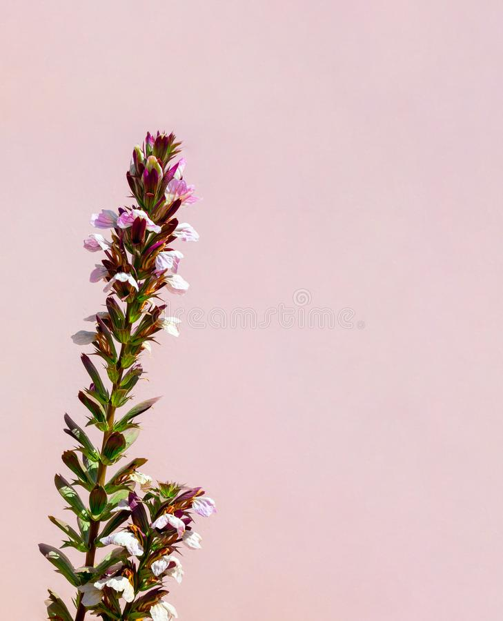Красивый белый цветок на розовой стене ( стоковые фотографии rf