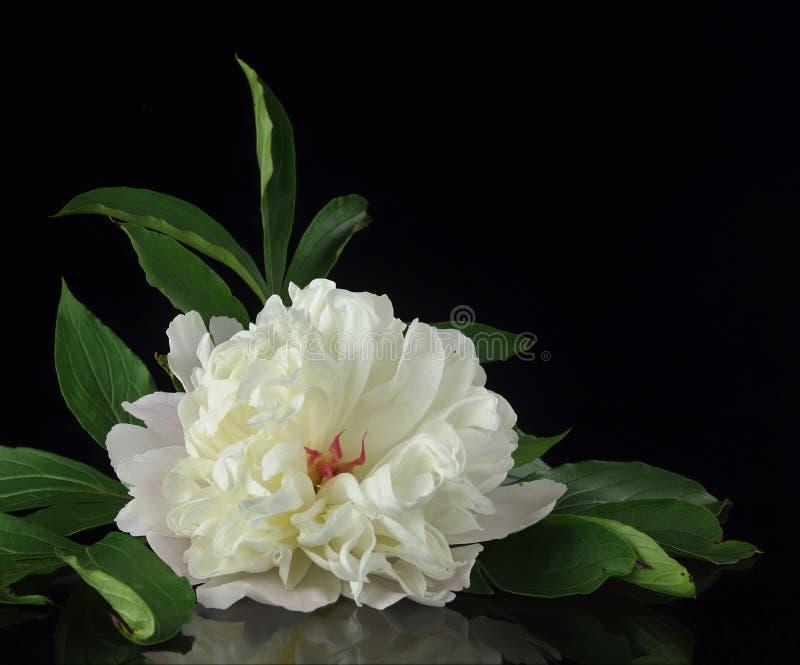 Красивый белый цветок пиона с листьями на черной предпосылке стоковое изображение