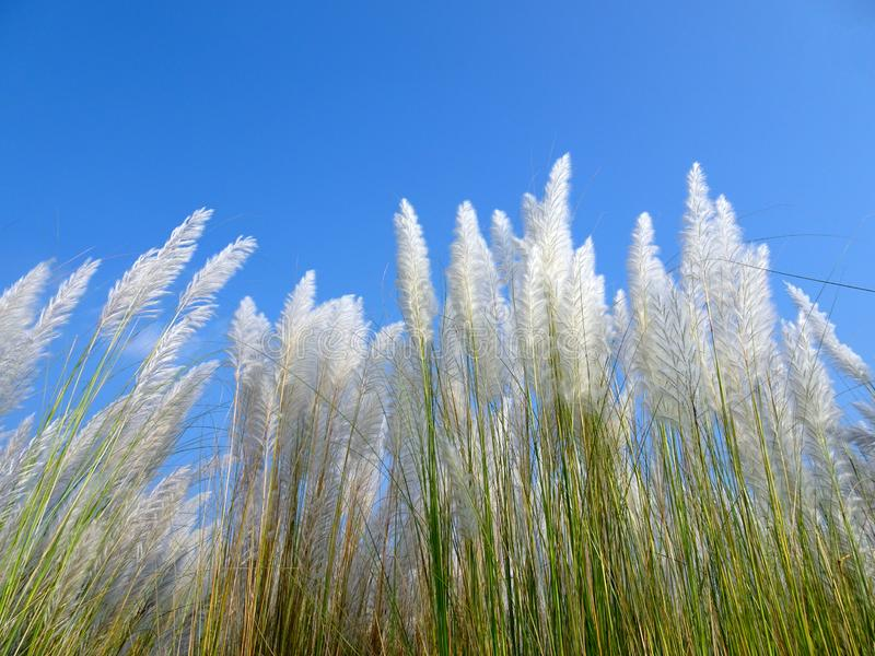 Красивый белый цветок травы kash или kans стоковые изображения rf