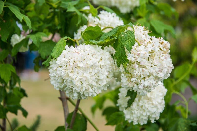 Красивый белый цветок serrata гортензии в зеленой предпосылке почвы стоковое фото rf
