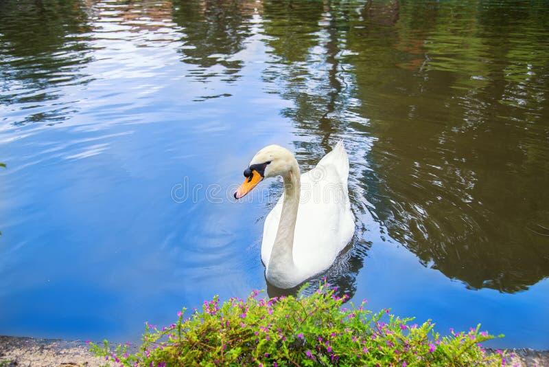 Красивый белый лебедь в голубом озере стоковая фотография rf
