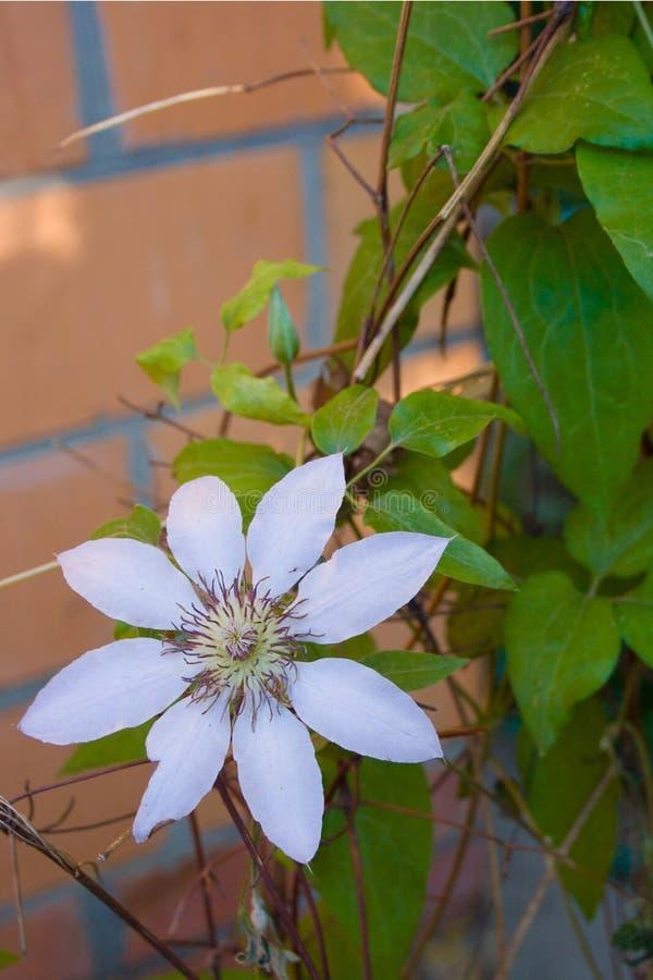 Красивый белый цветок на предпосылке зеленых листьев стоковые фотографии rf