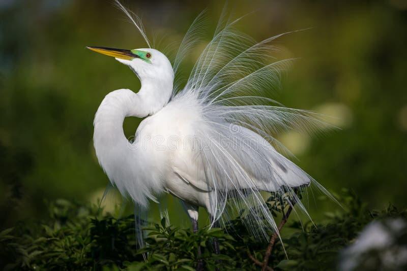 Красивый белый egret в оперении размножения fluffs вверх по его пер на дисплее стоковые фото