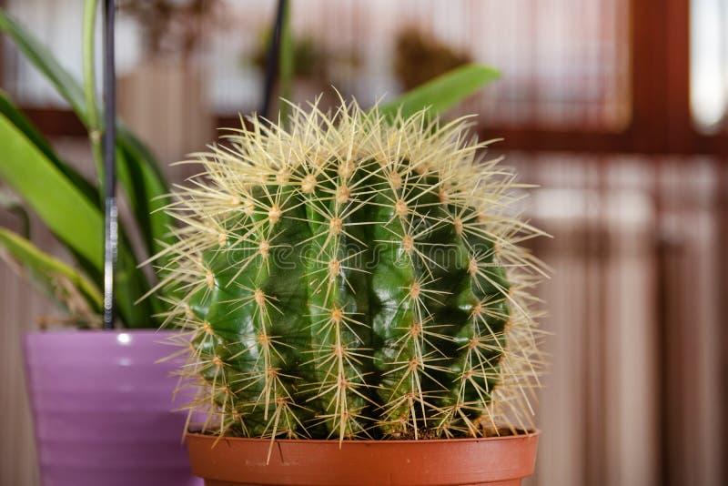 Красивый большой кактус в баке на столе в комнате дома стоковое фото rf
