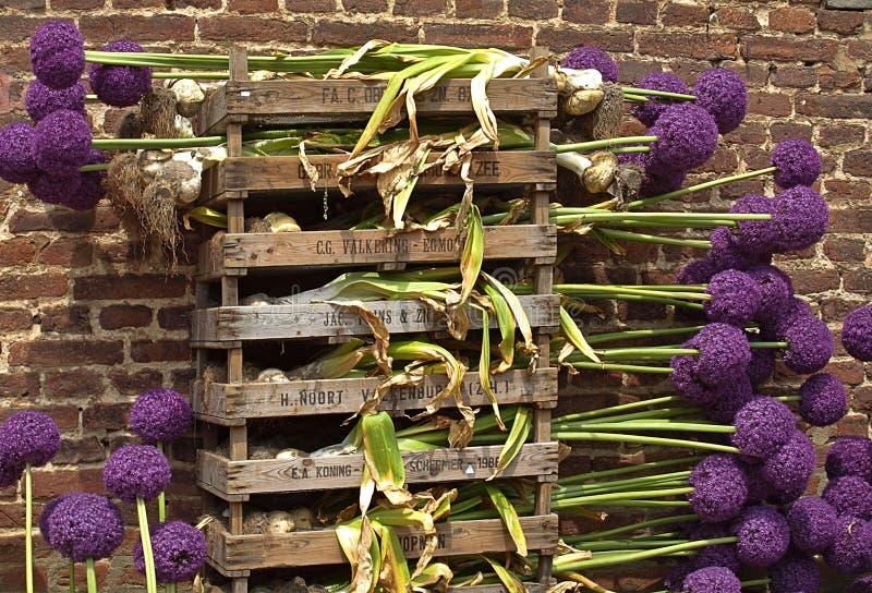 Красивый большой пурпурный зацветая лук-порей стоковое фото rf