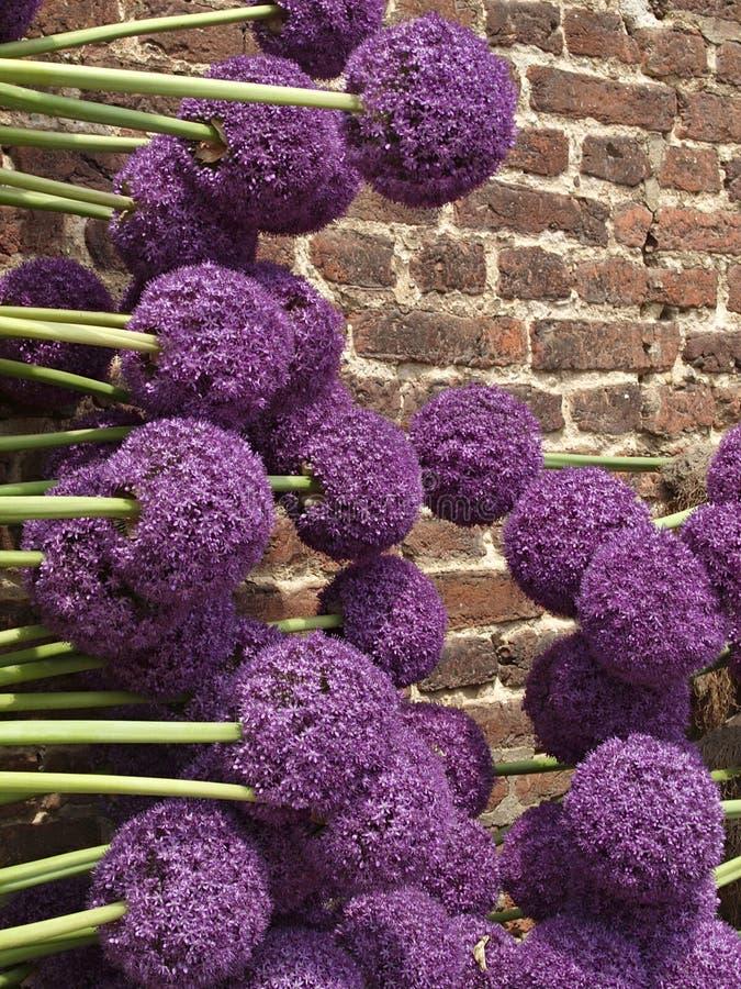 Красивый большой пурпурный зацветая лук-порей стоковое фото