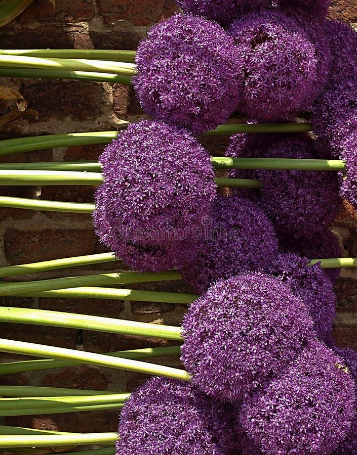 Красивый большой пурпурный зацветая лук-порей стоковое изображение