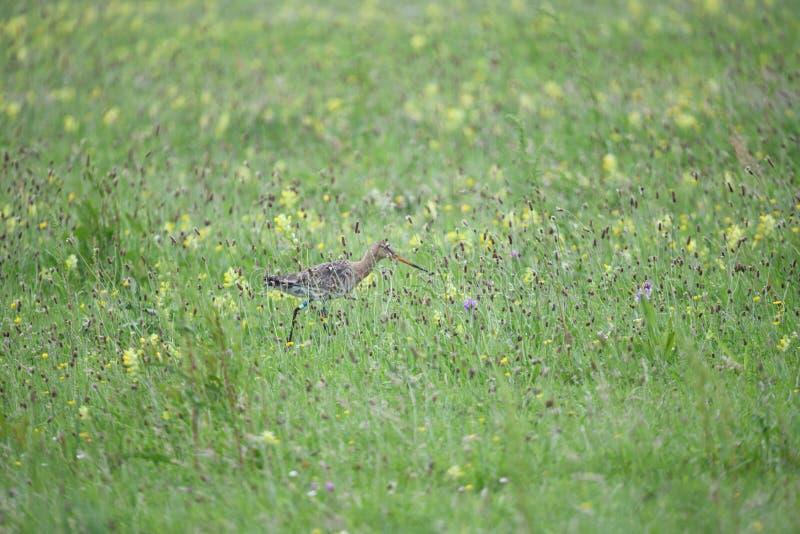 Красивый веретенник идя в траву стоковые фотографии rf