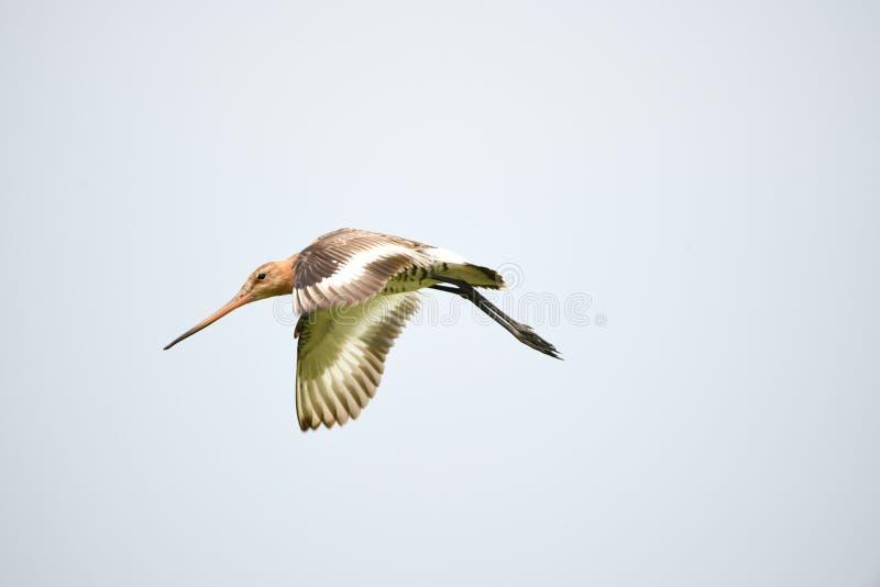 Красивый веретенник летания стоковое фото rf