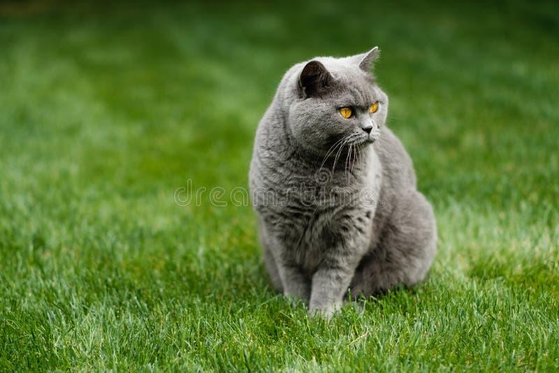 Красивый великобританский голубой кот Shorthair стоковые фотографии rf