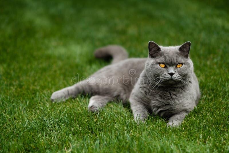 Красивый великобританский голубой кот Shorthair стоковое фото rf