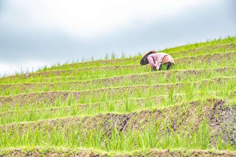 Красивый вид зеленых террас риса ? gronomic индонезийская естественная предпосылка индонезийский фермер работая на поле риса стоковая фотография rf
