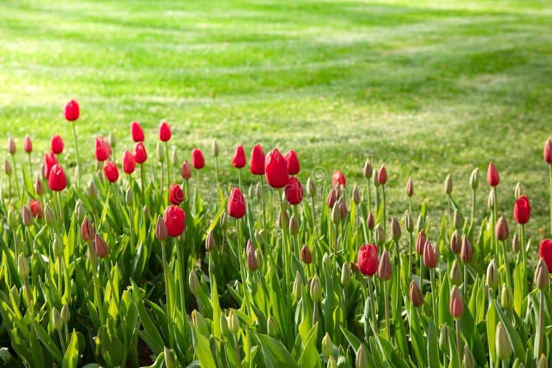 Красивый вид красных тюльпанов под солнечным светом с зеленой травой стоковая фотография rf