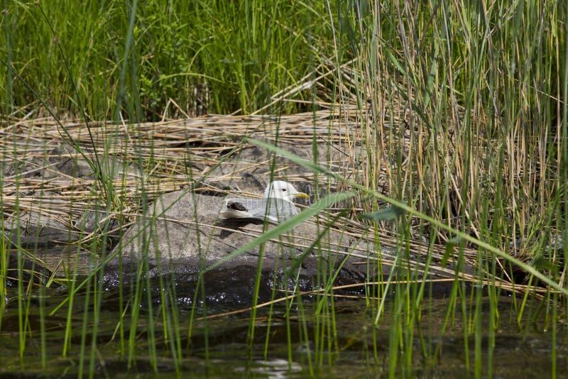 Красивый вид на чайке на большом утесе sorrounded с зеленой травой озера стоковое изображение rf