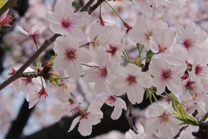 Красивый вид розовых вишневых цветов или Сакуры стоковые фотографии rf