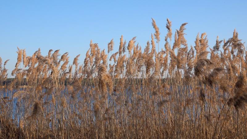 Красивый вид тростников на озере стоковые фото